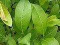 Salix eriocephala var. watsonii (4996656547).jpg