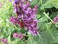 Salvia sp., Люлин планина.jpg