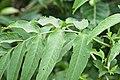 Sambucus formosana.jpg
