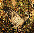 Sandhill Crane at Viera Wetlands - Flickr - Andrea Westmoreland.jpg