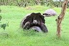 Santa Cruz giant tortoises 03.jpg