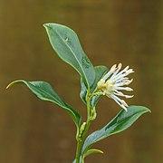 Sarcococca Hookeriana 25-01-2020. (d.j.b). 05.jpg