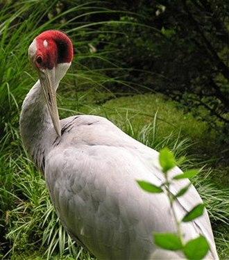 Bhojtal - Indian sarus crane
