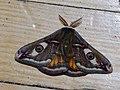 Saturnia pavonia ♂ - Emperor moth (male) - Малый ночной павлиний глаз (самец) (27359683058).jpg