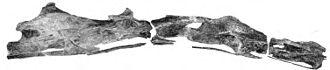 Sauroposeidon - Neck vertebrae