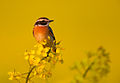 Saxicola rubetra vogelartinfo chris romeiks R7F2176.jpg