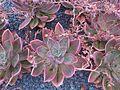 Saxifragales - Echeveria sp. 8.jpg