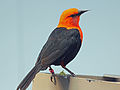 Scarlet-headed Blackbird RWD4.jpg