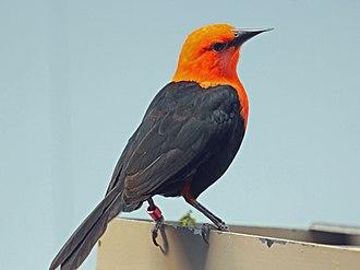 Scarlet-headed blackbird - Image: Scarlet headed Blackbird RWD4