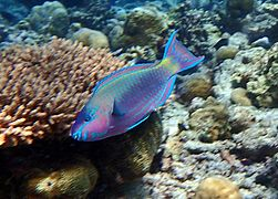 Common parrotfish (Scarus psittacus)