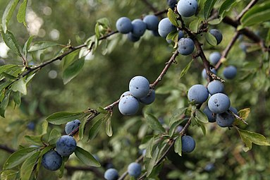 Schlehdorn (Prunus spinosa) Nationalpark Donau-Auen Orth an der Donau 2012 d.jpg