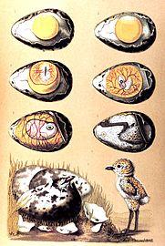Стадии развития зародыша в яйце птиц