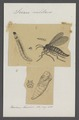 Sciara - Print - Iconographia Zoologica - Special Collections University of Amsterdam - UBAINV0274 038 04 0012.tif