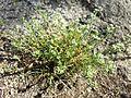 Scleranthus perennis sl7.jpg