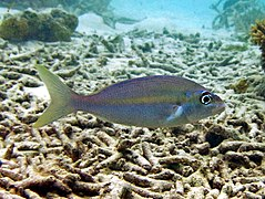 Yellowstripe monocle bream (Scolopsis aurata)