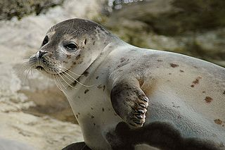 Earless seal family of mammals