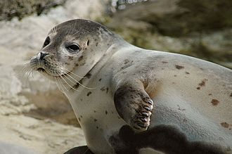 Earless seal - Harbor seal, Phoca vitulina