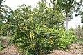 Senna polyphylla 35zz.jpg