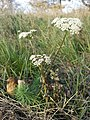 Seseli annuum + Euphorbia cyparissias sl2.jpg