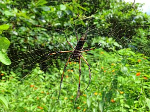 Wildlife of Seychelles - The palm spider, Seychelles