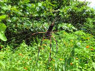 Wildlife of Seychelles - The palm spider, Seychelles