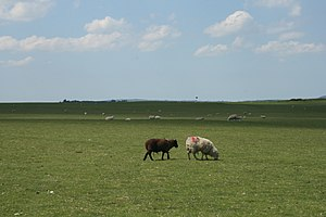 Curragh - Sheep grazing on the Curragh plain