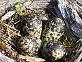 Shorebird Eggs in a Nest (8428791376).jpg