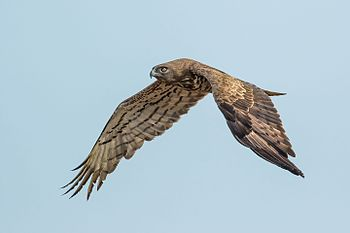 Short-toed Snake Eagle-7516.jpg