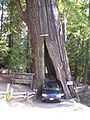 Shrine Drive Through Tree - Sequoia.jpg