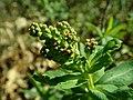 Sibiraea laevigata 2019-04-16 0596.jpg
