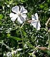 Silene latifolia ENBLA01.jpg