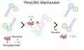 Simple penicillin mechanism.png