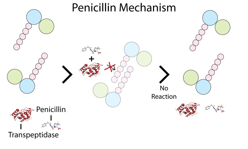 filesimple penicillin mechanismpng wikimedia commons