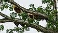 Sipitang-District Bee-tree-03.jpg