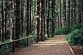 Sitka Spruce grove - Cape Meares - Oregon USA.jpg