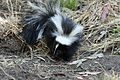 Skunks - Flickr - GregTheBusker (5).jpg