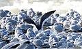 Slaty-bcked Gull (Larus schistisagus) (31842346224).jpg