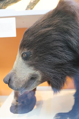 Sloth bear (Melursus ursinus), Natural History Museum, London, Mammals Gallery.JPG