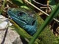 Smaragdeidechse 2011-05-08.jpg