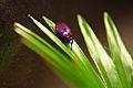 Smaragdesthes africana oertzeni.JPG
