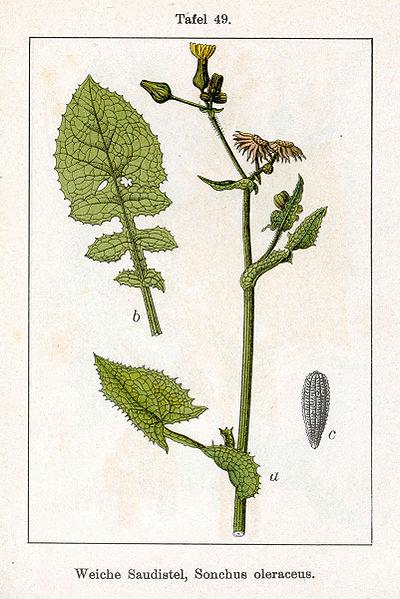 Fitxer:Sonchus oleraceus Sturm49.jpg