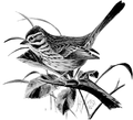 Song Sparrow-Birdcraft-0236-30.png
