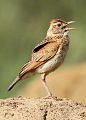 Song and dance routine of the Rufous-naped Lark, Mirafra africana at Rietvlei Nature Reserve, Gauteng, South Africa (15857525120).jpg