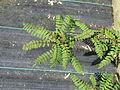 Sorbus sp (13900500855).jpg