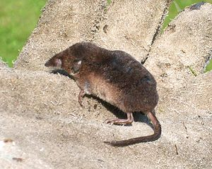 Eulipotyphla - Common shrew (Sorex araneus)