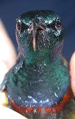 Souimanga Sunbird (Cinnyris souimanga) 1.jpg