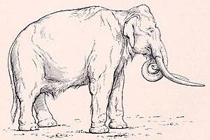 Mammuthus meridionalis - Mammuthus meridionalis