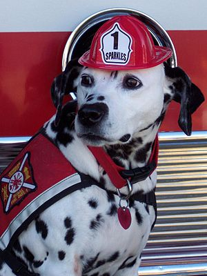 Sparkles the Fire Safety Dog, a dalmatian resc...