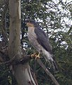 Sparrowhawk 3 (4464415781).jpg