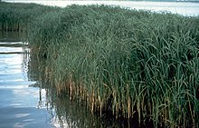 High, reedlike plants standing in water